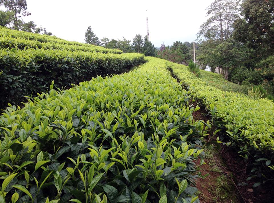 campo de chá